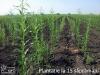 Plantatie la 15 saptamani