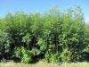 Plantatie salcie energetica 5
