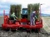 Plantare salcie energetica 2