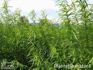 plantatie sanatoasa 5